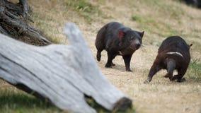 Diablos tasmanos Imagen de archivo libre de regalías