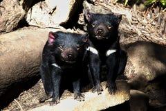 Diablos tasmanos - Tasmania Fotografía de archivo libre de regalías