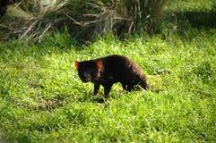 Diabo de Tasman Foto de Stock Royalty Free