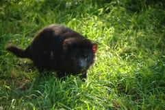 Diabo de Tasman Imagens de Stock Royalty Free