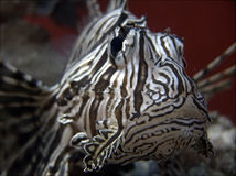 Diabo Firefish imagem de stock royalty free