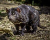 Diabo tasmaniano fotos de stock royalty free