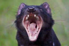 Diabo tasmaniano Foto de Stock Royalty Free