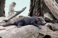 Diabo tasmaniano fotos de stock
