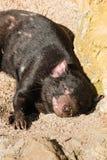 Diabo tasmaniano de descanso imagens de stock