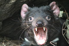 Diabo tasmaniano gritando Imagens de Stock