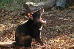 Diabo tasmaniano (harrisii do Sarcophilus) fotografia de stock