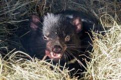 Diabo tasmaniano na palha imagens de stock