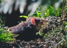 Diabo tasmaniano no selvagem foto de stock royalty free