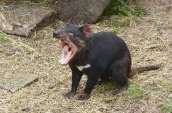 Diabo tasmaniano que grita Imagens de Stock