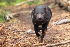 Diabo tasmaniano running fotos de stock royalty free