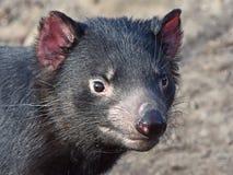 Diabo tasmaniano (Sarcopilus Harrisii) fotografia de stock