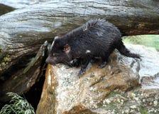 Diabo tasmaniano, Tasmânia, Austrália fotos de stock