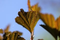 Diabolo ninebark. Close up of Diabolo ninebark's leaf Royalty Free Stock Photo