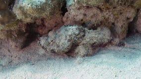Diabolus de Scorpaenopsis Foto de Stock Royalty Free
