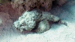 Diabolus de Scorpaenopsis (aranha-do-mar do diabo) no Fotos de Stock