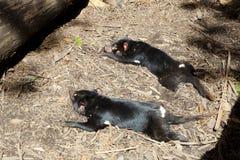 Diabos tasmanianos - Tasmânia Fotografia de Stock