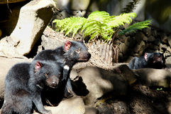 Diabos tasmanianos - Tasmânia Foto de Stock Royalty Free