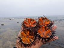 Diabrete de mar fotografia de stock