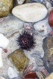 Diabrete de mar Imagens de Stock Royalty Free