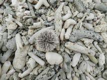 Diabrete de mar Foto de Stock