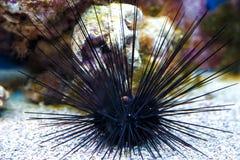 Diabrete de mar com pontos enormes Diabrete do Mar Negro fotos de stock royalty free