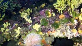 Diabrete de mar grande do melão - melo do ouriço-cacheiro no recife mediterrâneo vídeos de arquivo