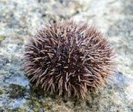 Diabrete de mar na pedra Foto de Stock Royalty Free