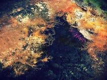 Diabrete de mar no rockpool foto de stock royalty free