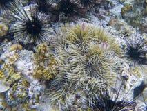 Diabretes pretos e clownfish alaranjados no actinia Foto subaquática do recife de corais Mergulhar tropical da costa de mar imagem de stock