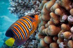 Diacanthus de Pygoplites dos peixes do anjo Mar Vermelho Fotografia de Stock Royalty Free