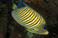 Diacanthus de Pygoplites - peixe real do anjo Imagem de Stock Royalty Free