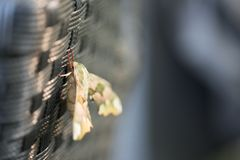 Diachrysia stenochrysis отдыхает летом выравнивая солнечный свет стоковая фотография rf