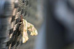 Diachrysia stenochrysis rust in het zonlicht van de de zomeravond royalty-vrije stock fotografie
