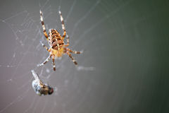 Diadem αράχνη με το θήραμα στοκ εικόνες