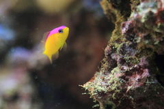 Diadem dottyback Royalty Free Stock Photos