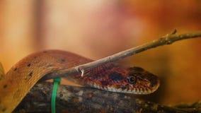 Diadem-Schlange, königliche Schlange stock video
