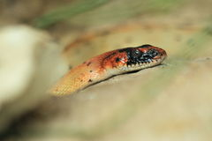 Diadem snake Stock Photo