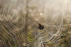 Diadem spider. Dewy diadem spider on his cobweb Royalty Free Stock Photography