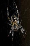 Diadem spider Stock Photos