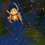 Diadem Spider Royalty Free Stock Photos
