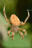 Diadem Spider Royalty Free Stock Photo