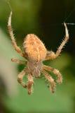 Diadem Spider. On the cob web Royalty Free Stock Photo