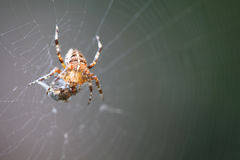 Diadem spider with prey Royalty Free Stock Images