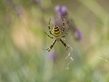 Diadem spider on the siper web Stock Image