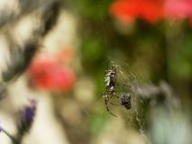 Diadem spider on the siper web close up Royalty Free Stock Photos