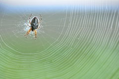 Diadem spider in the web, coloured background Stock Photos