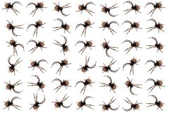 Diadem spiders. Collage created from diadem spiders on a white background Royalty Free Stock Image