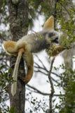 Diadema Diademed Sifaka - Propithecus, дождевой лес, Мадагаскар стоковые фото