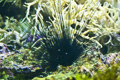 Diadema savigny or long spine sea urchin Royalty Free Stock Image